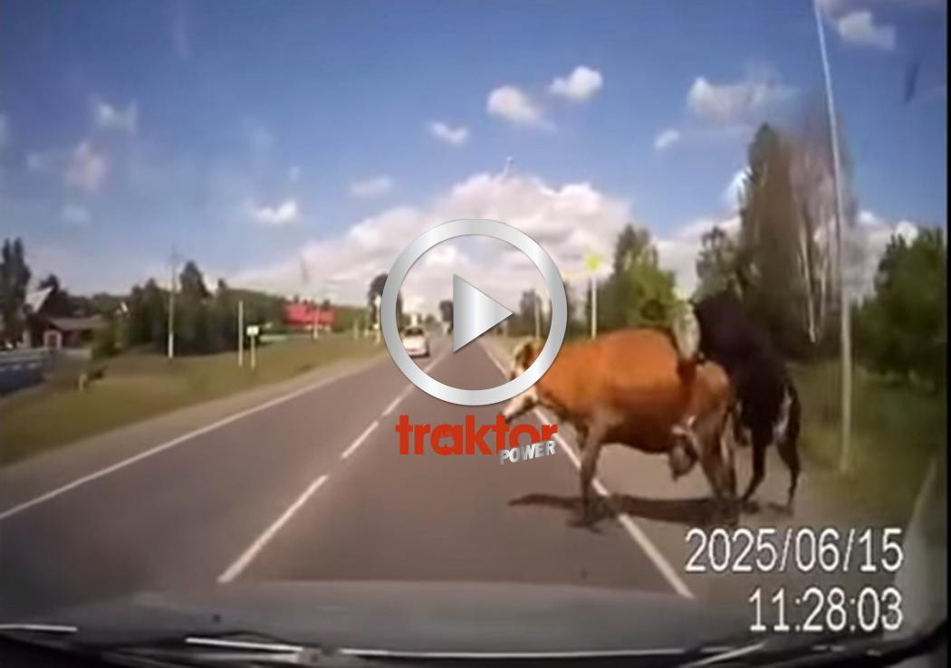 EN ko på vägen är inte bra!!!