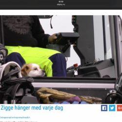Hunden Zigge hänger i traktrhytten varje dag!