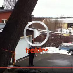 Så fäller du ett jätteträd säkert med motorsågen!!!